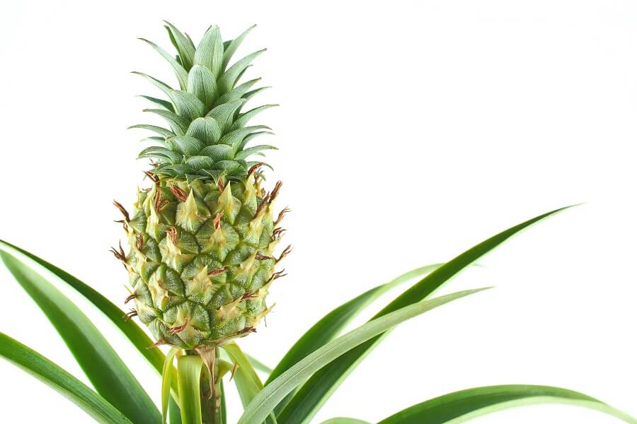 About Pineapple Plants (Ananas comosus)
