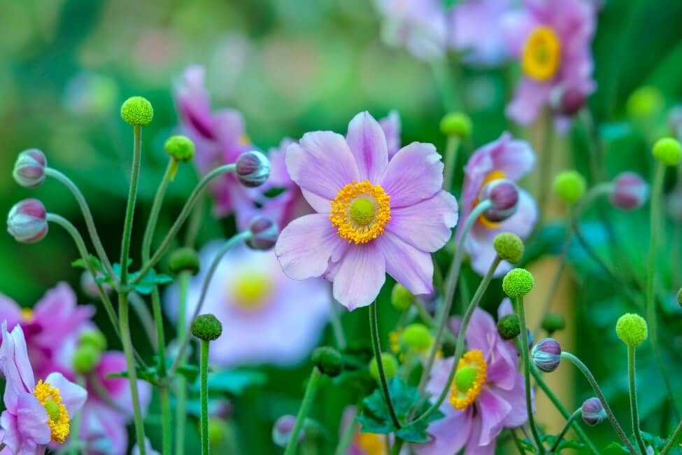 About the Anemone Flower