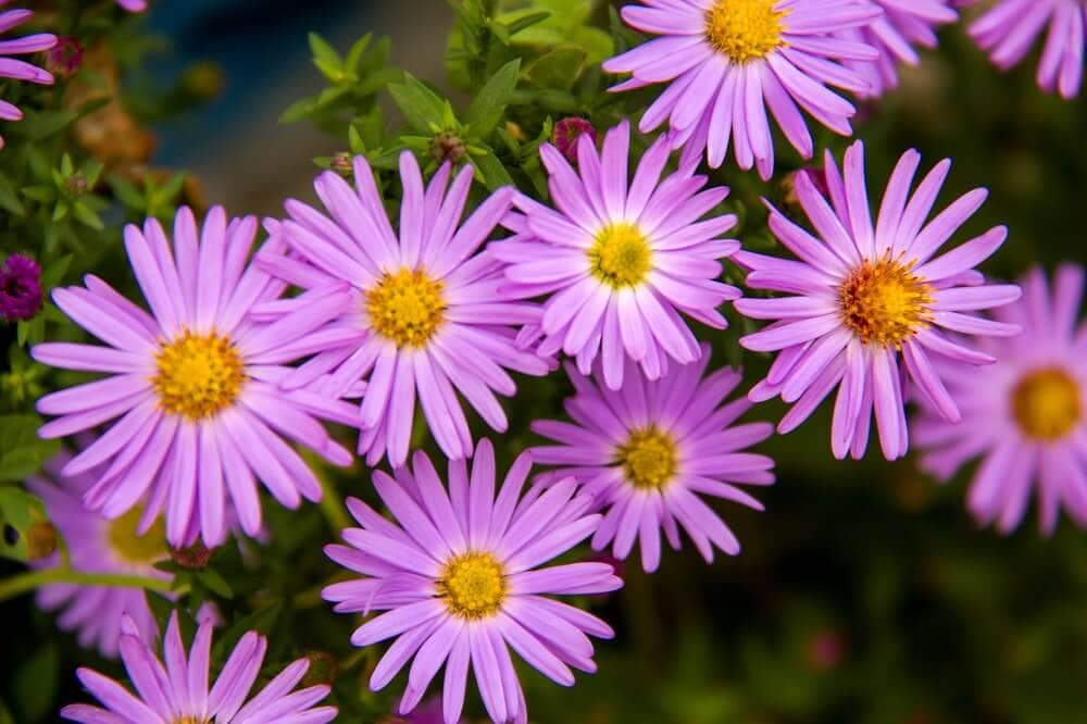 About the Aster Flower