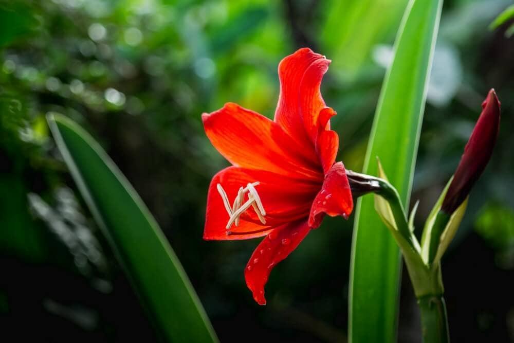 Amaryllis Flowers in the Victorian Era