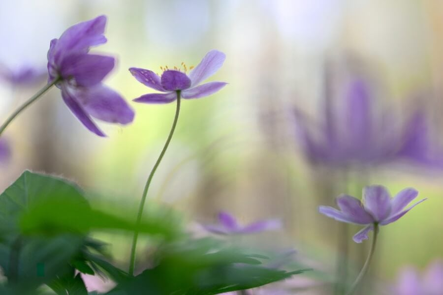 Anemone (Anemone nemorosa)