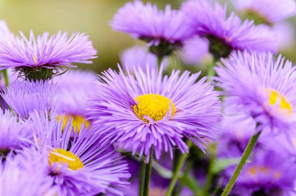 Aster Flower Meaning and Symbolism