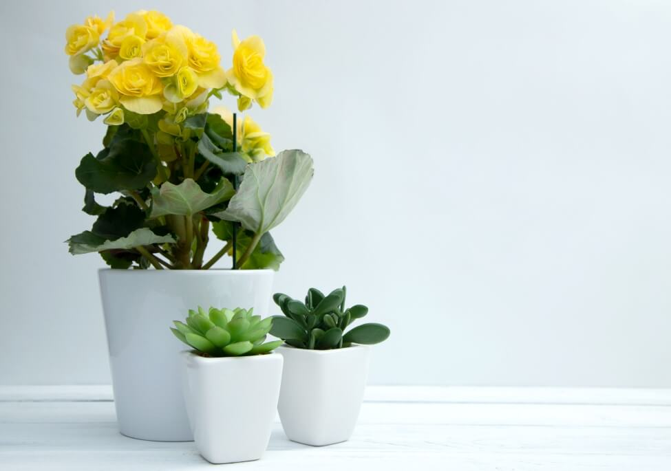 Begonia Cut Flower Care