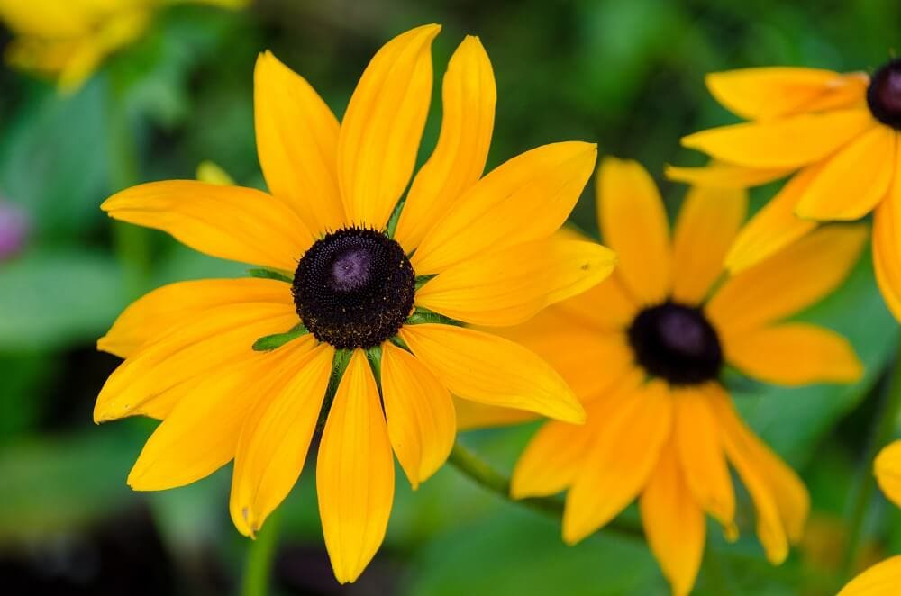 Best Gifting Occasions for Black Eyed Susan Flowers