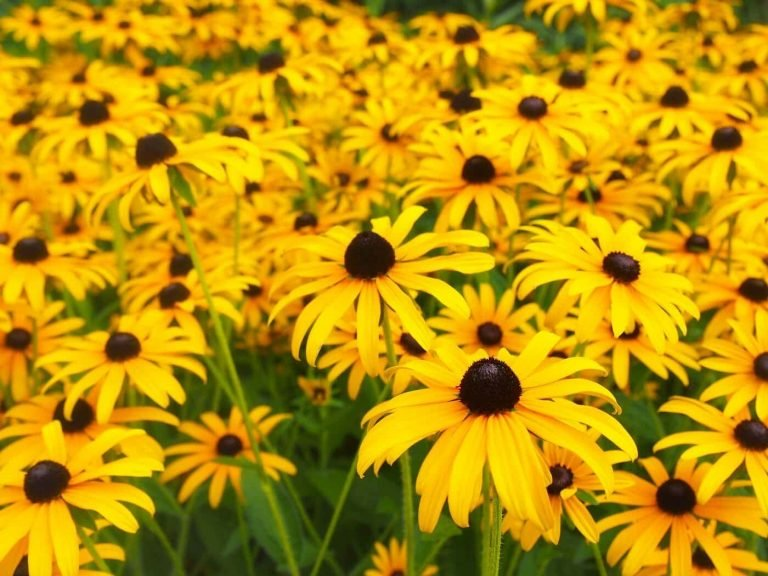 Black-Eyed Susan Flowers (Rudbeckia Hirta) The Ultimate Guide