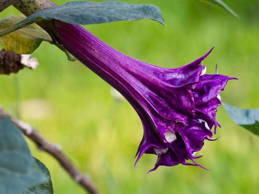 Blackcurrant Swirl Moonflower (Datura)