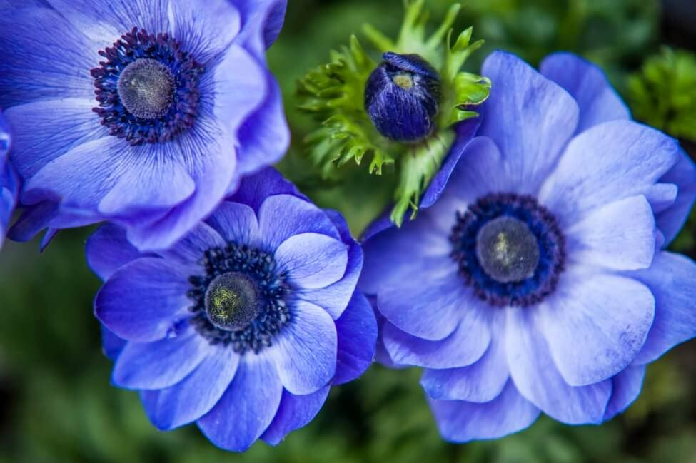 Blue Anemone Flower Meaning