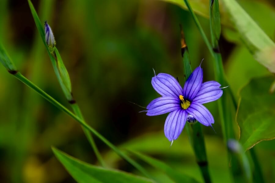 Blue-Eyed Grass (Sisyrinchium montanum)