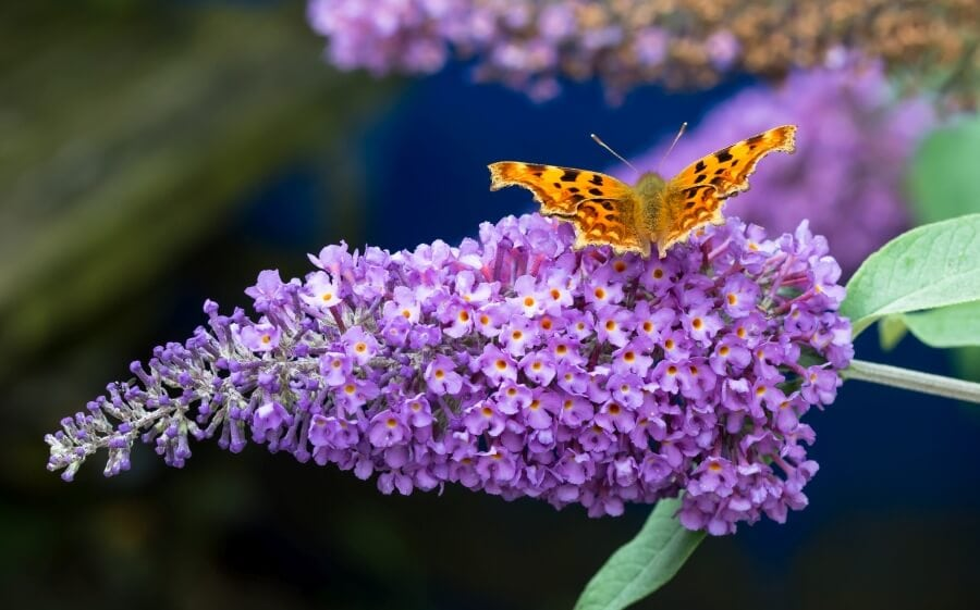 Butterfly Bush Buddleia davidii