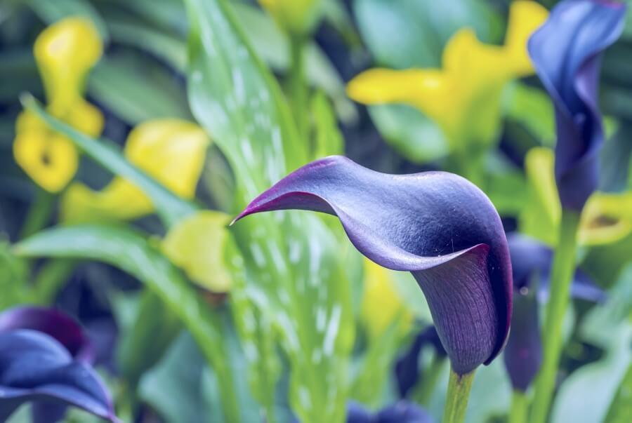 Calla Lily (Zantedeschia)