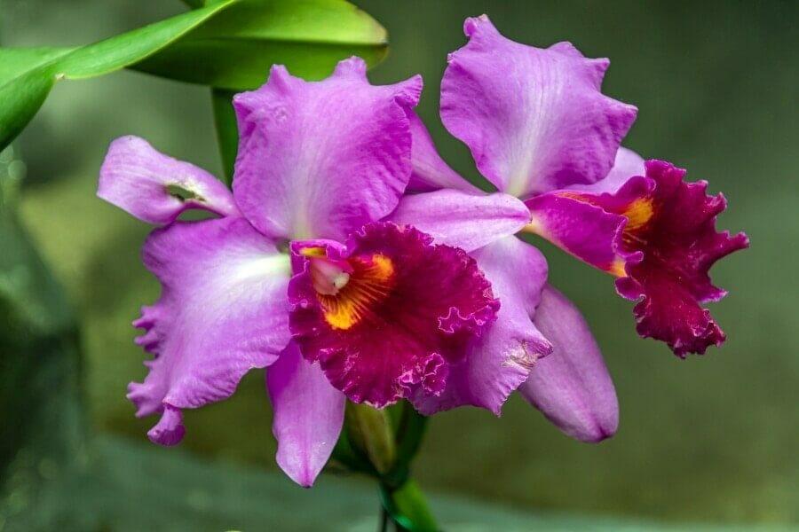 Cattleya Orchid (Cattleya)