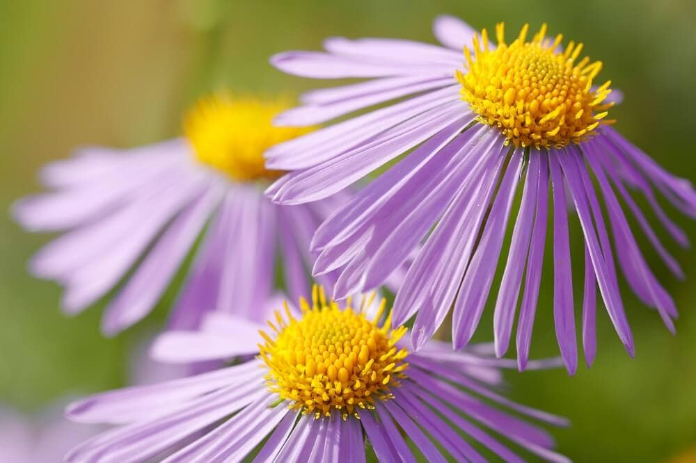Characteristics of the Aster Flowering Plant