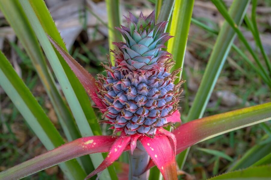 Common Pineapple Plant Problems and how to deal with them