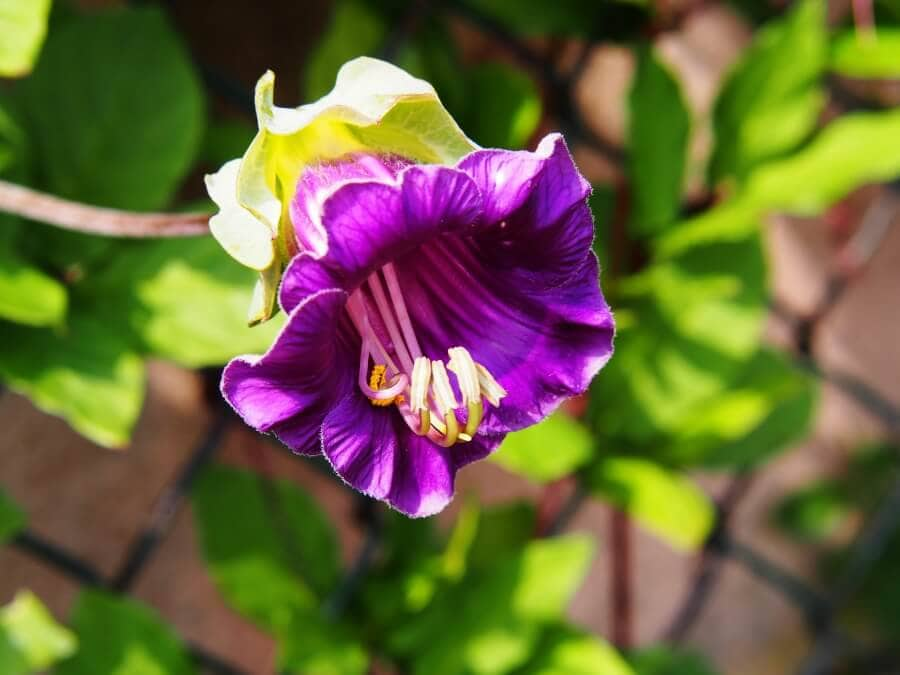 Cup and saucer vine (Cobaea scandens)