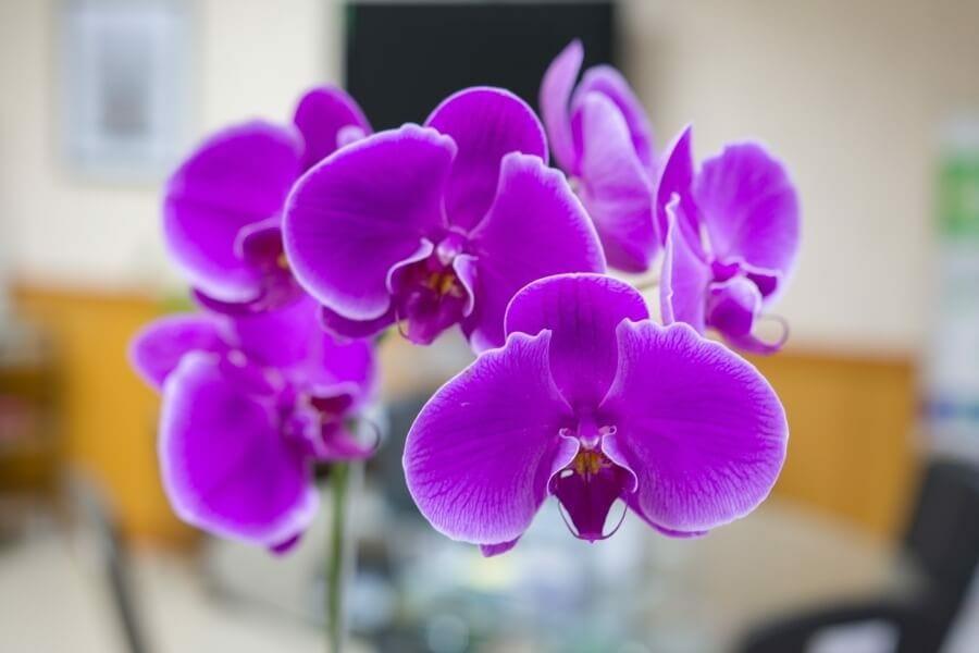 Dendrobium Orchid Dendrobium