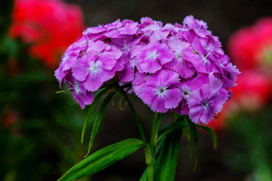 Dianthus (Dianthus Spp)