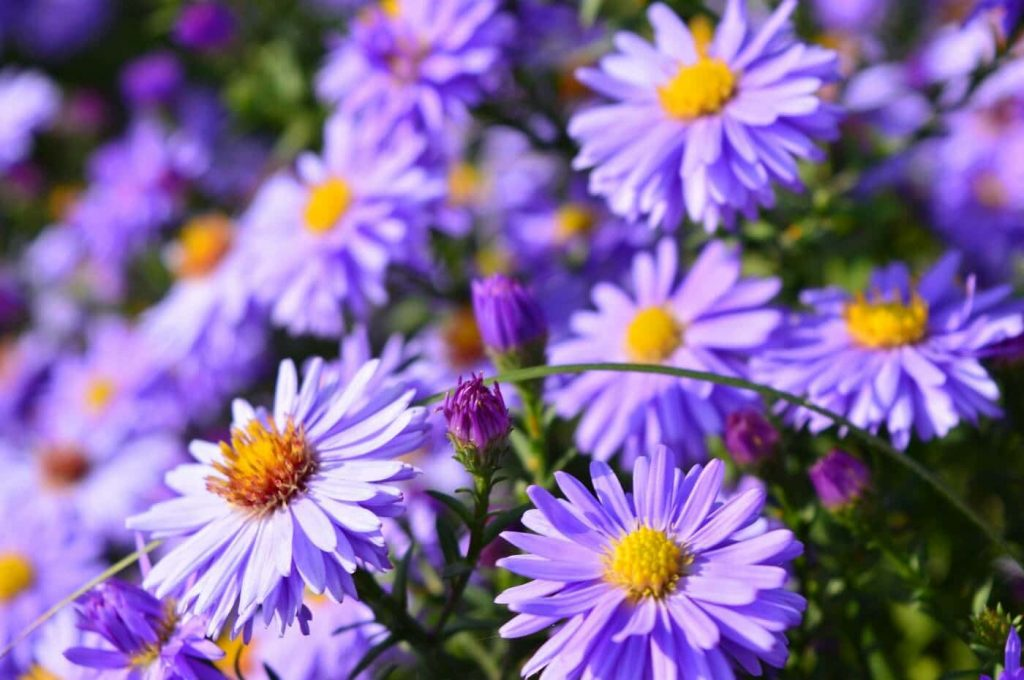 Everything You Need to Know About Aster Flowers