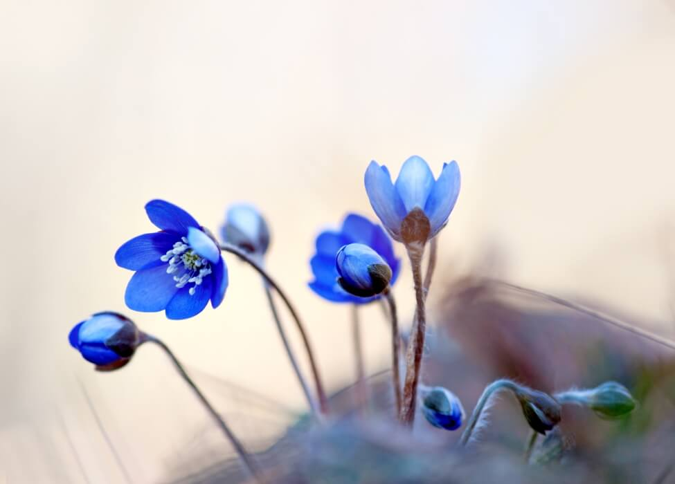 History & Origins of the Anemone Flower