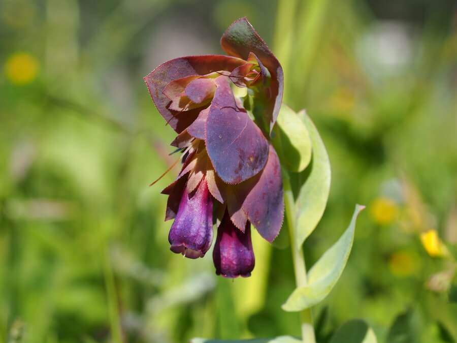 Honeywort (Cerinthe major)