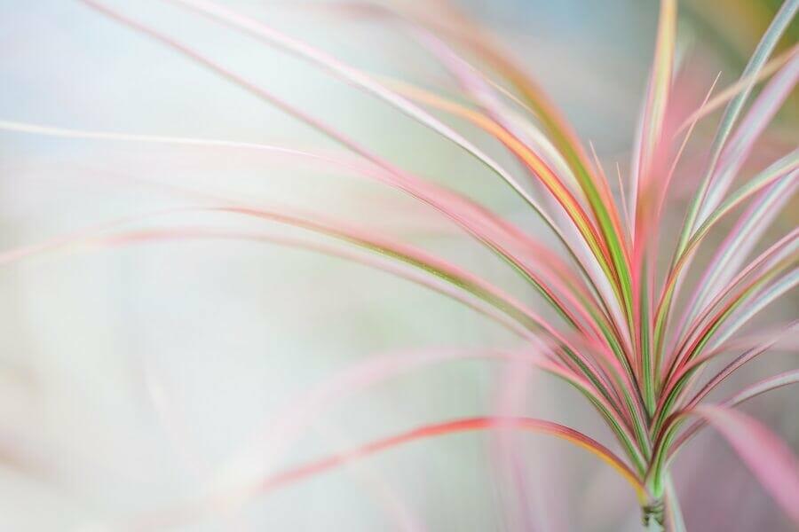 How Long do dragon trees (dracaena marginata) live