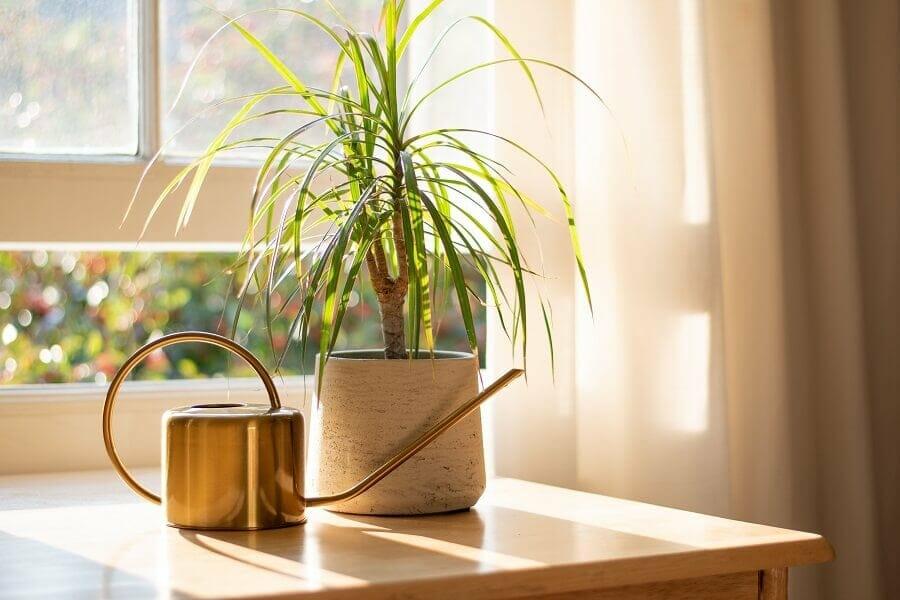 How to Care for Indoor Dragon Trees (Dracaena Marginata)