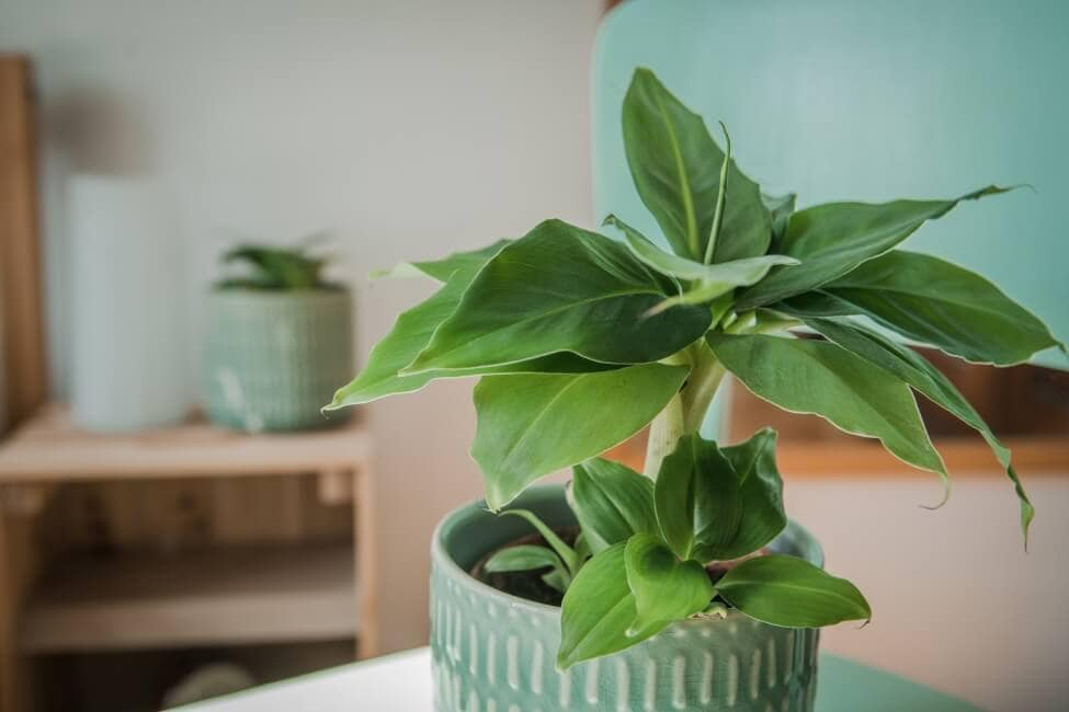 How to Grow Banana Plants Indoors at Home