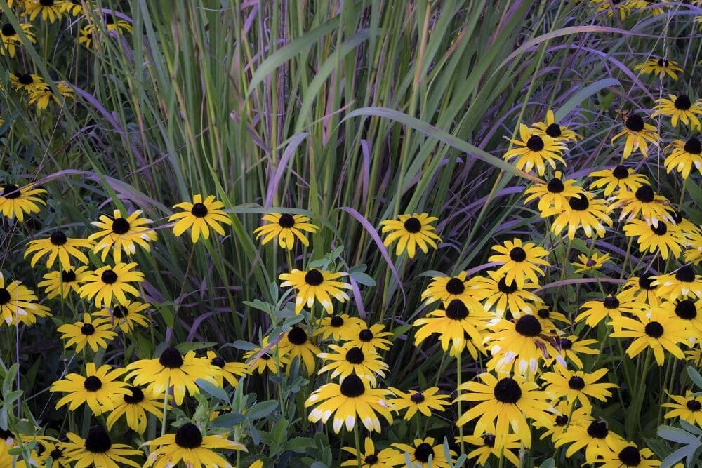 How to Grow Black Eyed Susan Flowers at Home