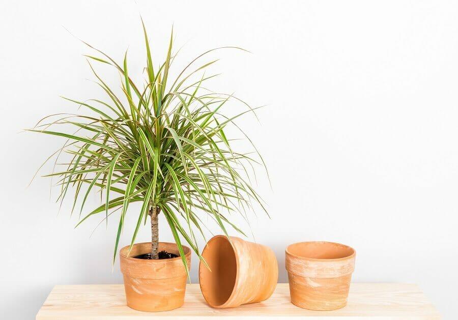 How to Grow Dragon Trees (Dracaena Marginata) at Home