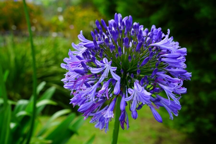 Lily of the Nile (Agapanthus orientalis)