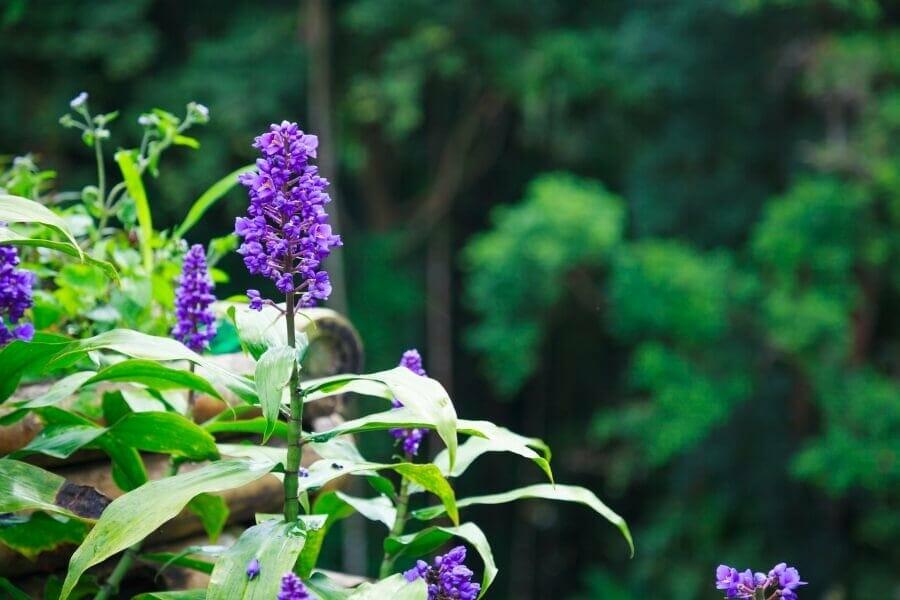 Lily turf Liriope muscari
