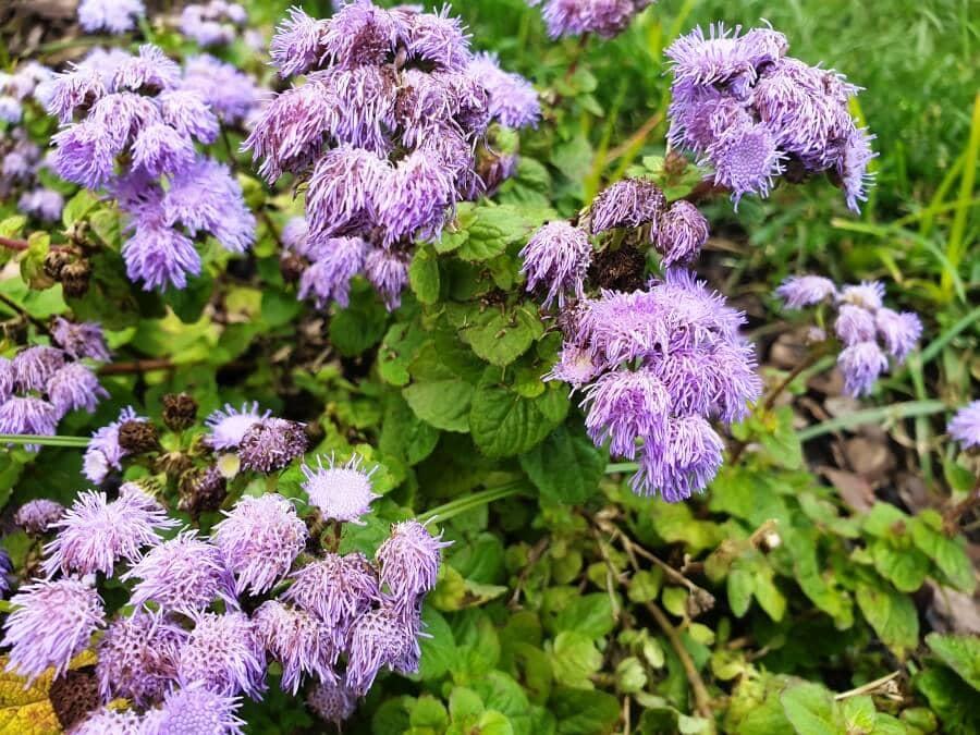 Mistflower (Conoclinium coelestinum)