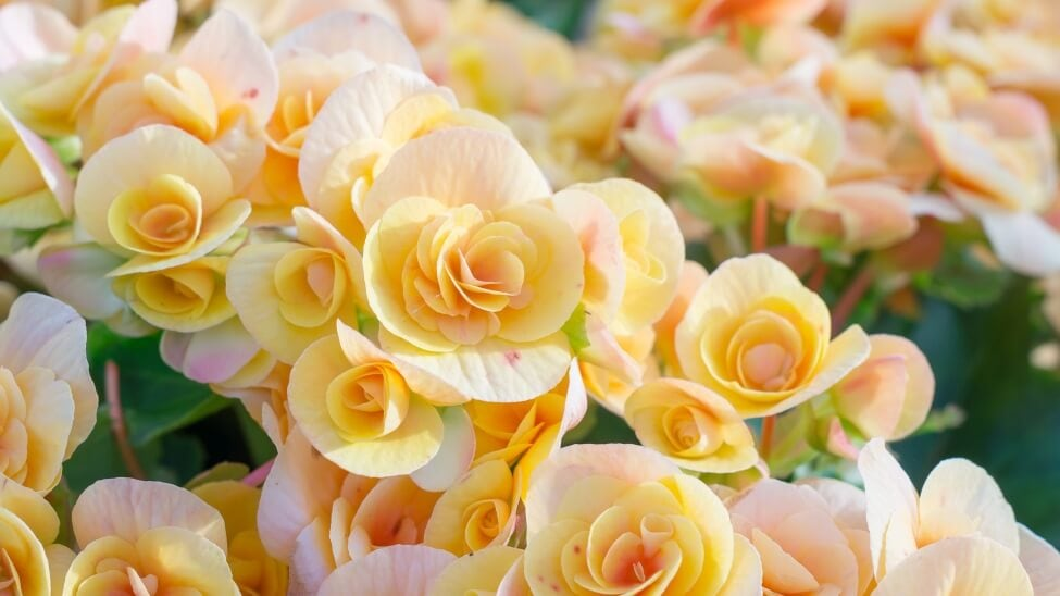 Other Meanings & Symbolism of Begonias