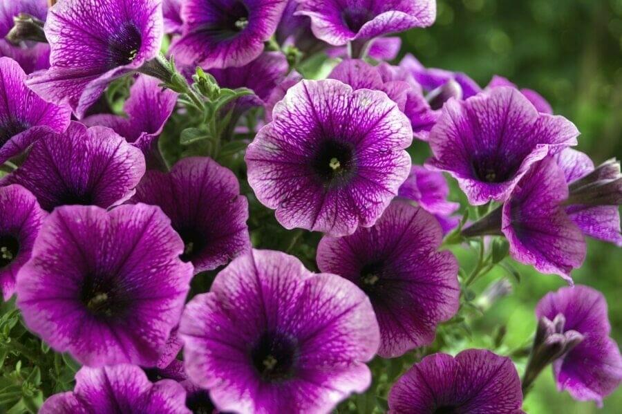 Petunia (Petunia)