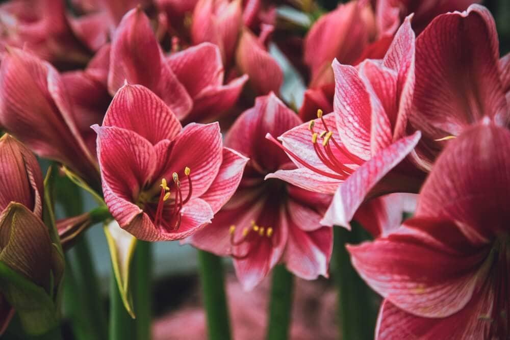 Pink Amaryllis Flower Meaning