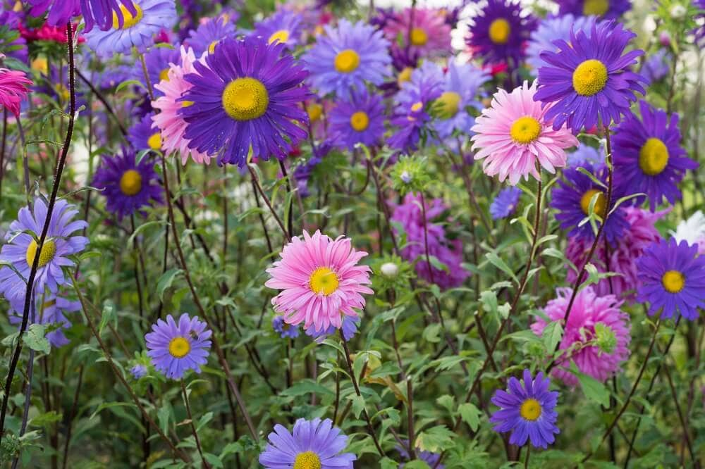 Popular Aster Flower Varieties and Hybrids