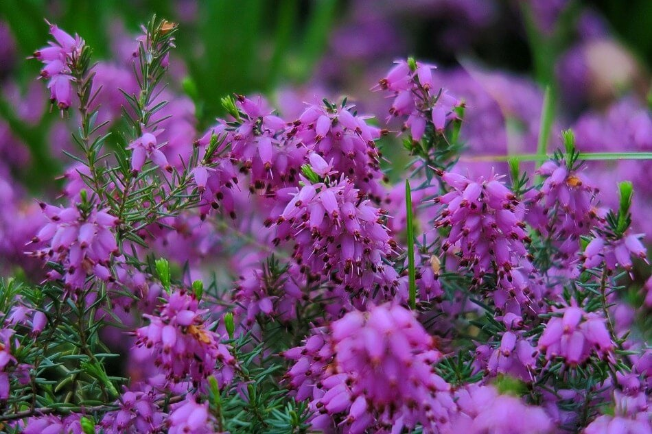 Purple Bell Heather (Erica cinerea)
