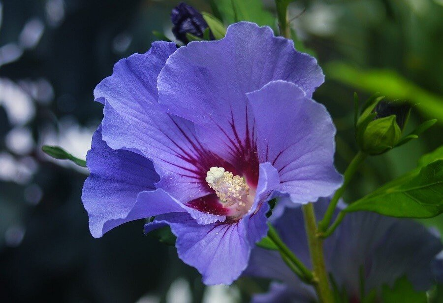 Purple Hibiscus Flower Meaning