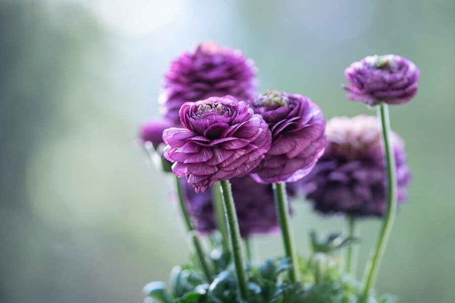 Purple Ranunculus Flower Meaning
