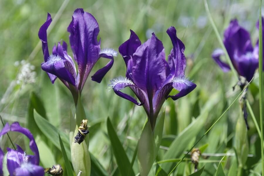 Pygmy Iris (Iris Pumila)
