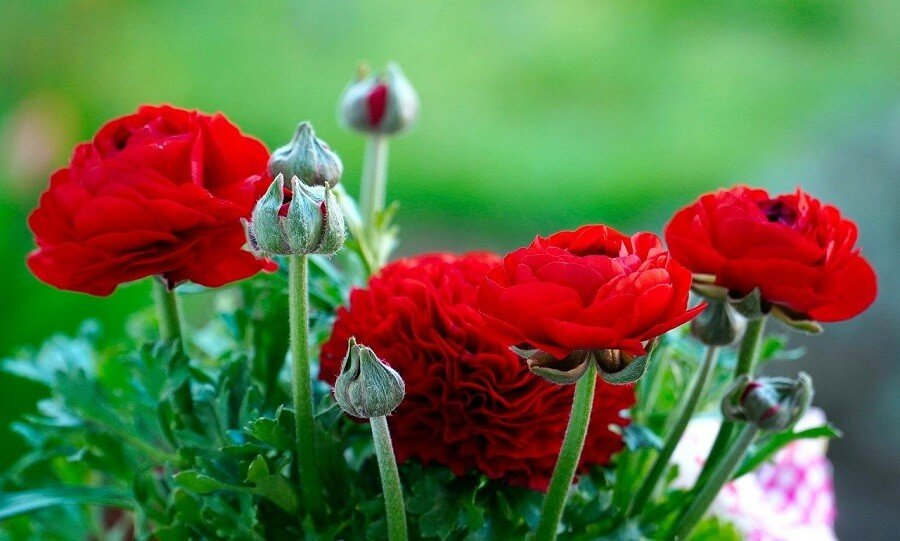 Red Ranunculus Flower Meaning