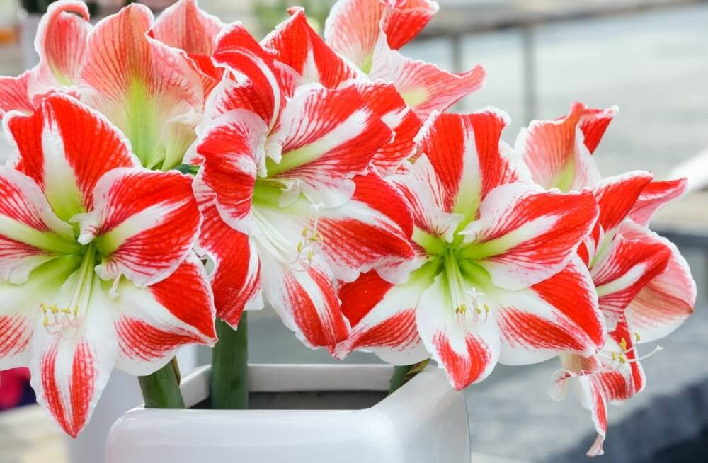 Suitable Gifting Occasions for Amaryllis Flowers