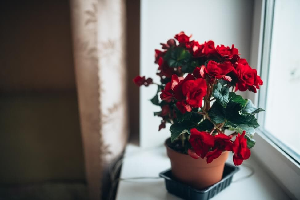Suitable Gifting Occasions for Begonia Flowers