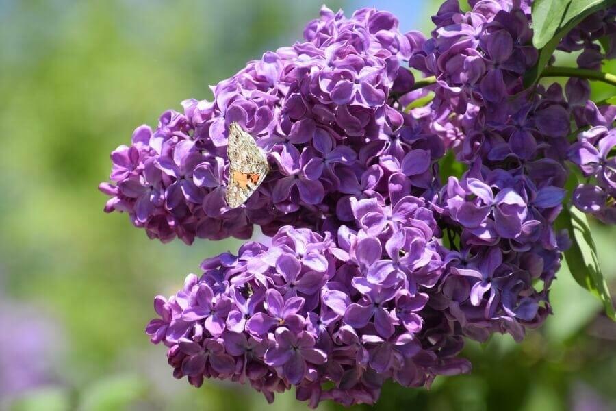 Summer Lilac (Buddleja davidii)