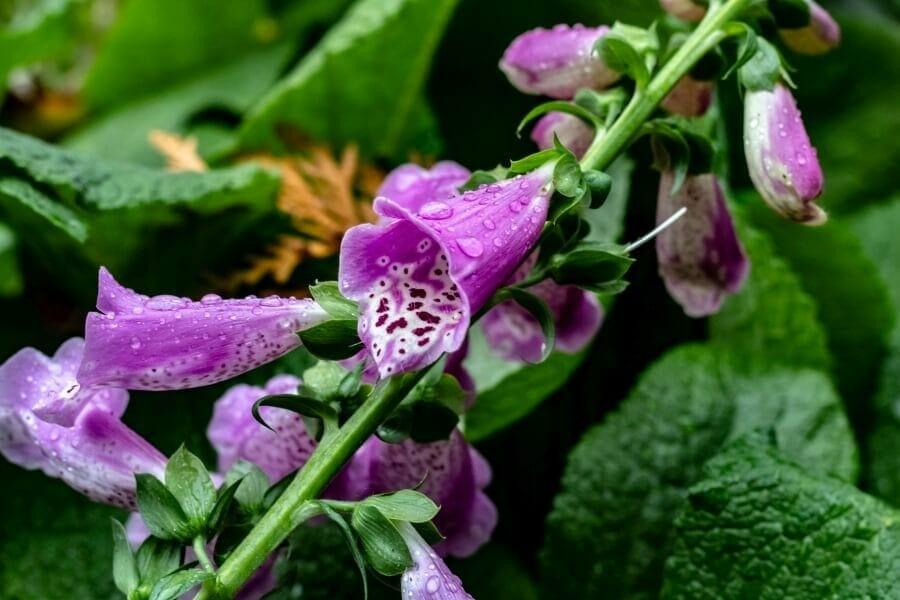 Summer Snapdragon (serenita angelonia)