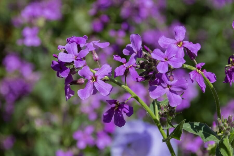 Sweet rocket (Hesperis matrionalis)