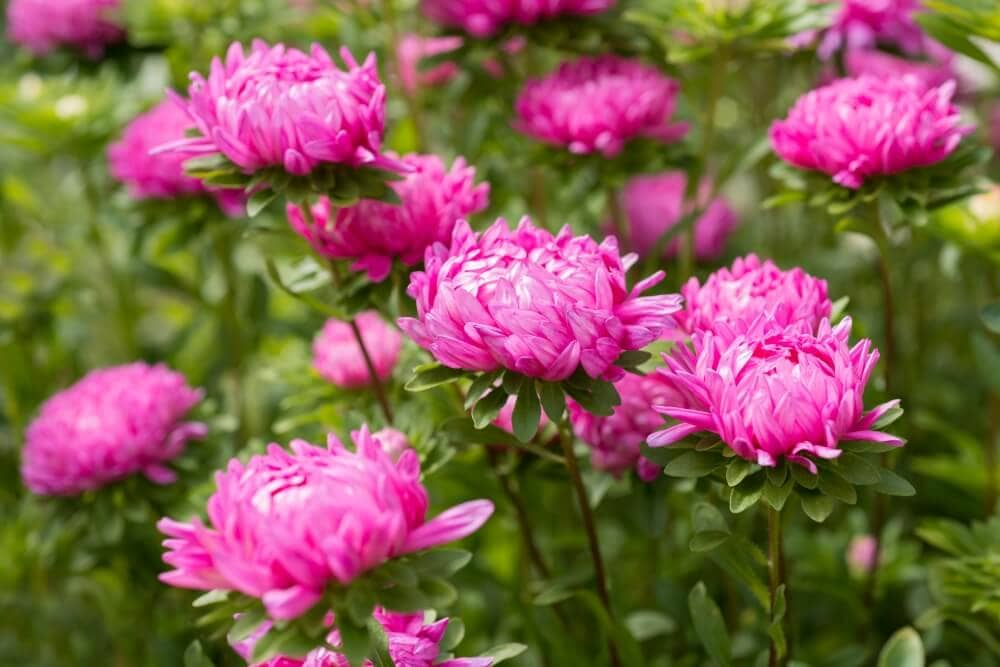 The Cultural Significance of Aster Flowers