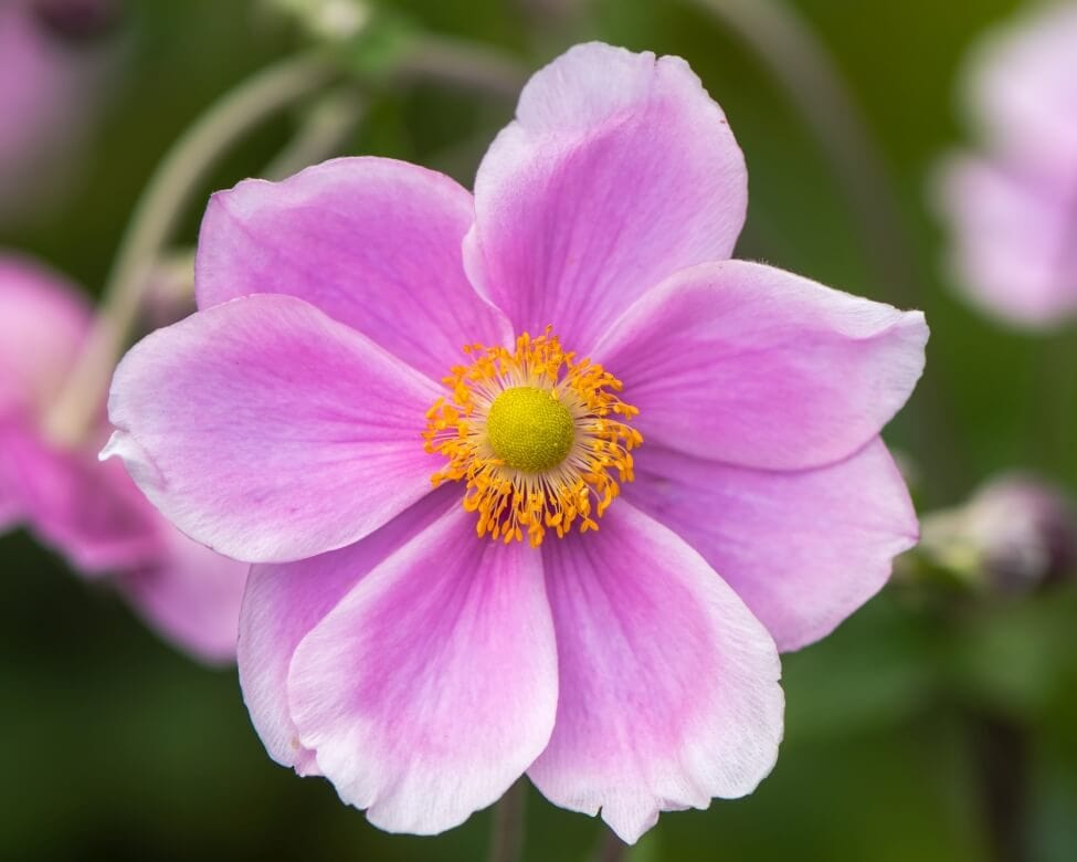 The Meaning of Anemone Flowers in Chinese Culture
