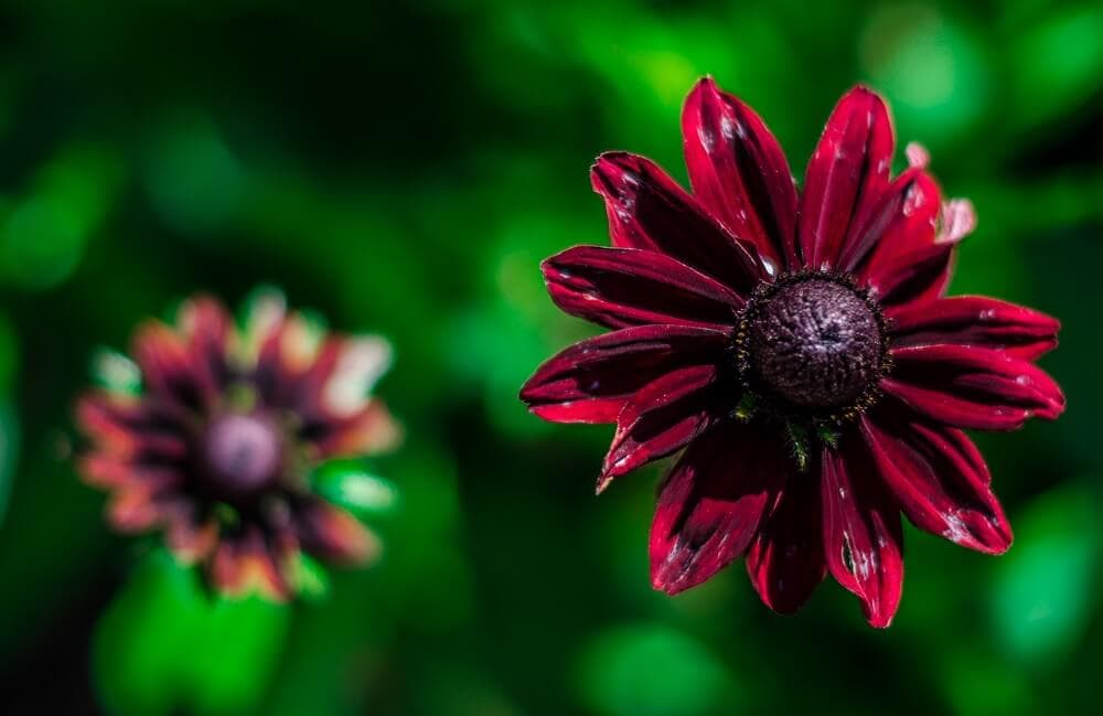 The Symbolism of Black-Eyed Susan Flowers