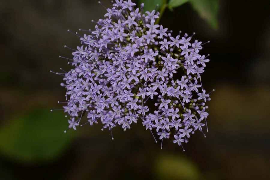 Throatwort (trachelium caeruleum)