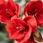 Ultimate Guide to Amaryllis Flower Meaning & Symbolism